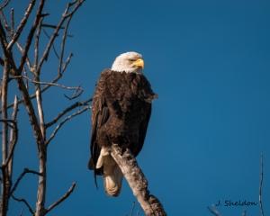 Eagle 1(s)