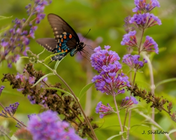 Butterfly 1-1(s)