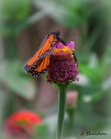Butterfly 5-1(s)