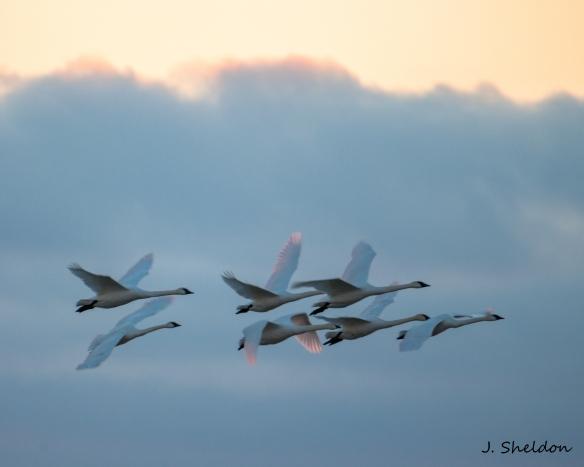 Swans 12(s).jpg