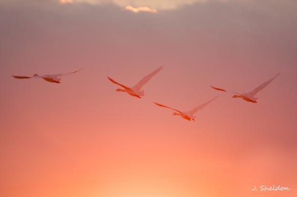 Swans 13(s)