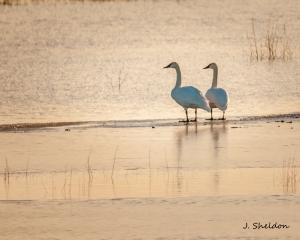 Swans 6(s)