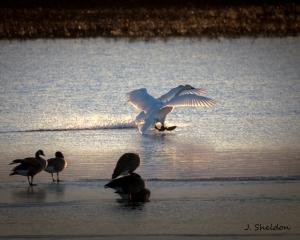 Swans 7(s)