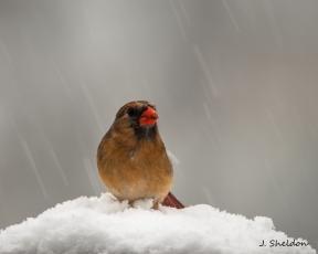 Female Cardinal 6-1(s)