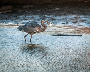 Female Great Blue Heron gets the catch of the day