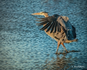 Male Great Blue Heron showing off his breeding plummage