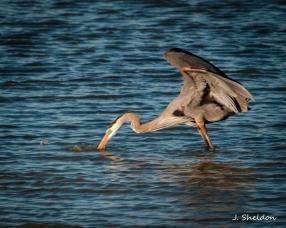 Heron 5(s).jpg