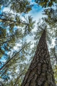 Pine Savannah at Hawn SP