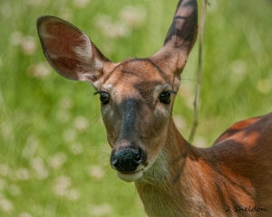 Deer 3-3(s)