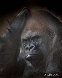 Gorilla 5(s).jpg