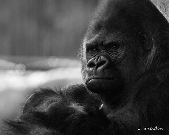 Gorilla 6(s).jpg