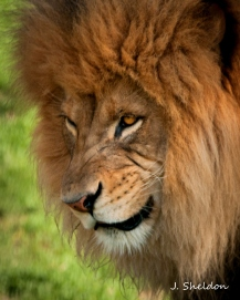 Lion 4(s)
