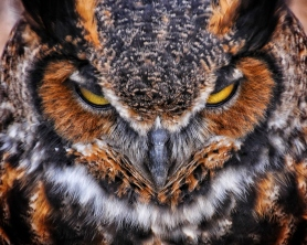 Owl Eyes - crop 1