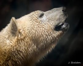 Polar Bear 1(s)