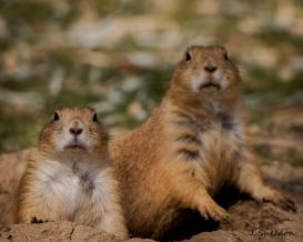 Prairie Dog 2(s).jpg