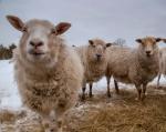 sheep 1-2