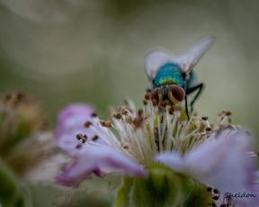 Green fly on a blackberry flower.