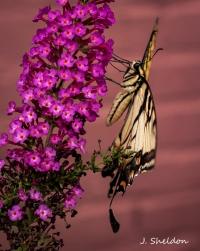 butterfly-3-1s