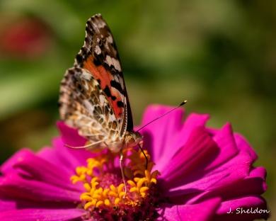 butterfly-7s