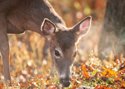 Deer 3-1(s).jpg